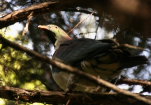 The afternoon light caught the coloured neck feathers and beak.