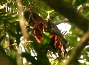 The bright feathers of the kaka, high in the bush.