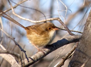 Female varigated fairy wren
