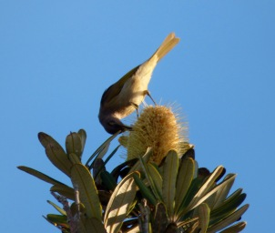 Brown Honeyeater on banksia